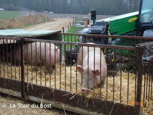 Porcs de plein air de Chalas