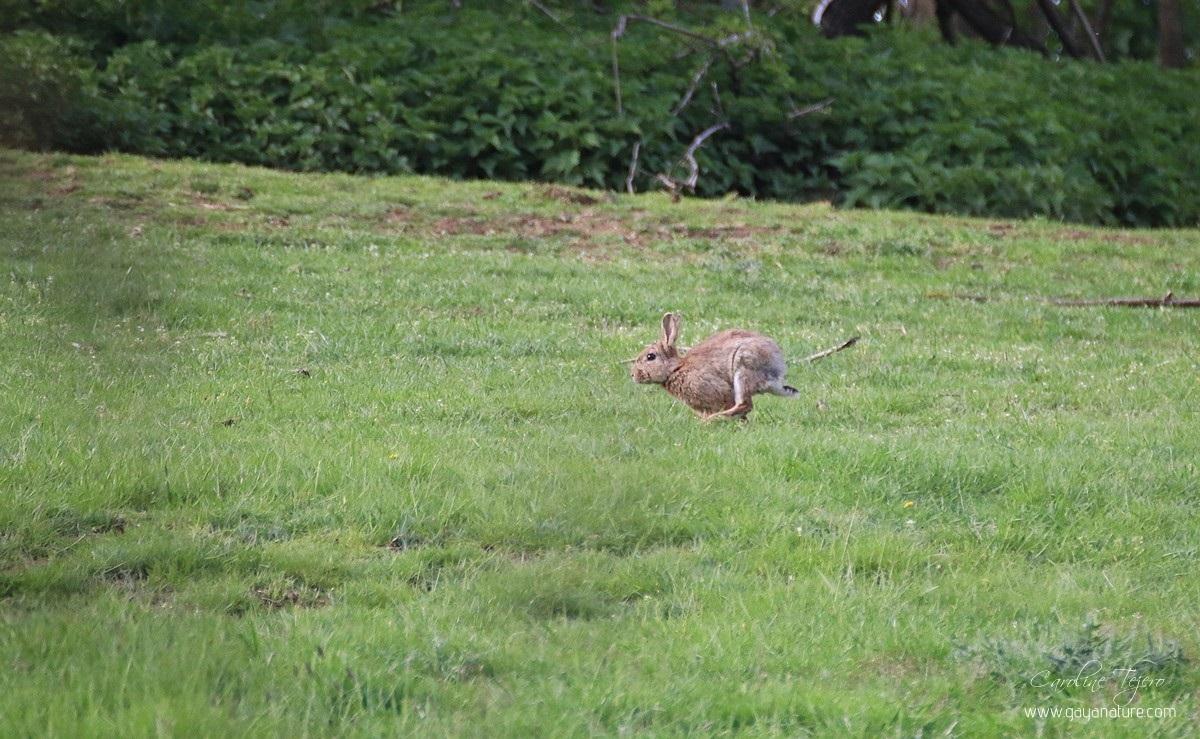 Un lapin, deux lapins, trois lapins.....