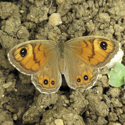 "Némusien  ""Lasiommata maera femelle"""