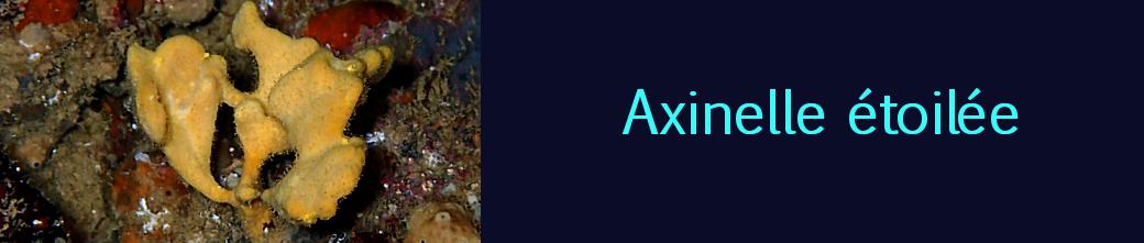 axinelle étoilée