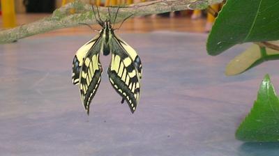Hon valafenn (notre papillon)