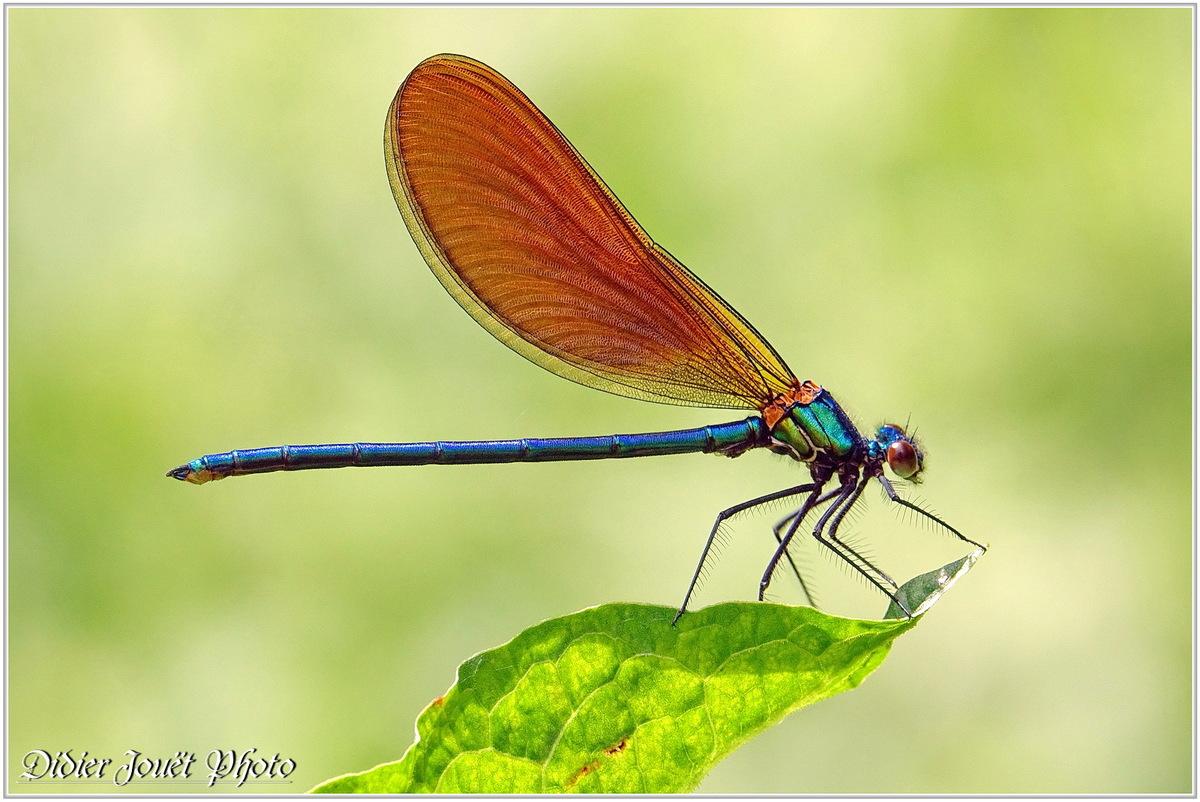 Caloptéryx Vierge (14) - Calopteryx virgo