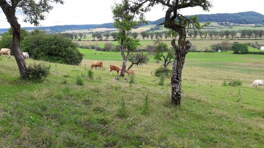 Vaches, Veaux
