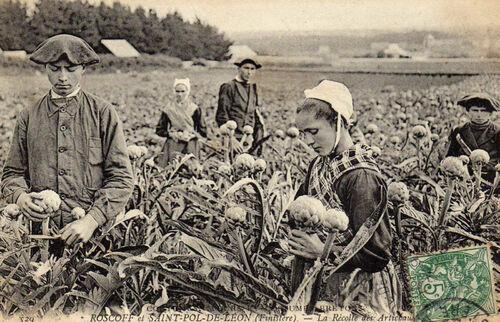 L' artichaut de Bretagne