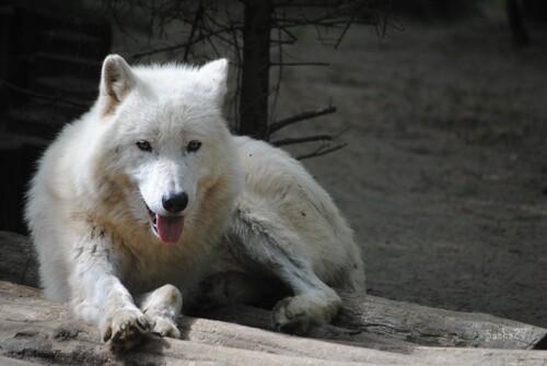 Le loup arctique.