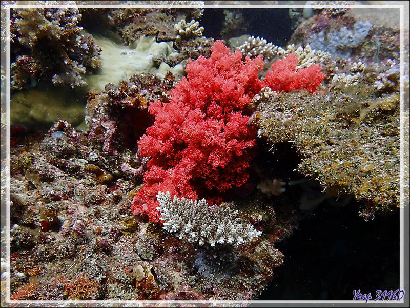 Corail mou rouge vif - Les Tétons - Nosy Tsarabanjina - Nosy Mitsio - Madagascar