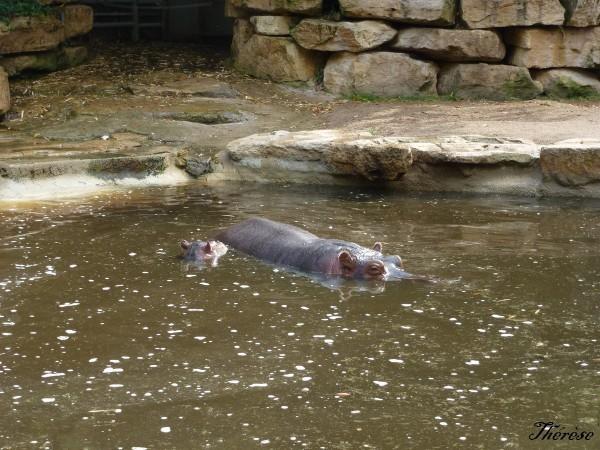 Hippopotames Amneville (14)