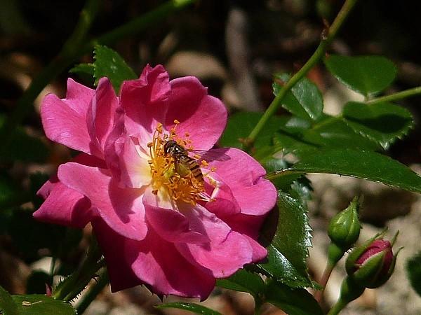 Rose et syrphe