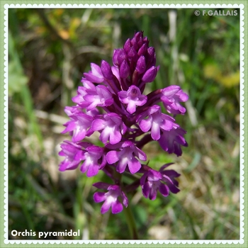 Orchis pyramidal-Anacamptis pyramidalis