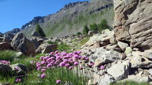 Armérie des Alpes