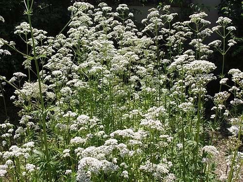 Vertus médicinales des plantes sauvages : Valériane