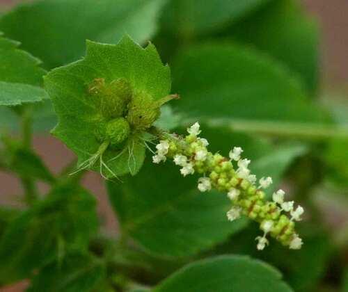 Acalypha indica