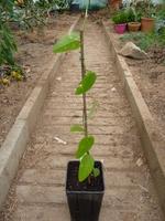 passiflore kew garden