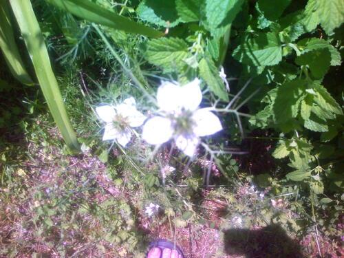 quelques fleurs de mon jardin: des roses pétunias, monnaie du pape en fleur, nigelle de Damas, marguerite