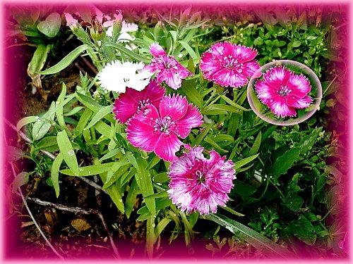 fleurs-pleureuses--1-.jpg