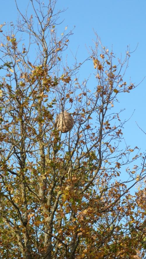 frelon asiatique nid et photo de mr RASET étaules