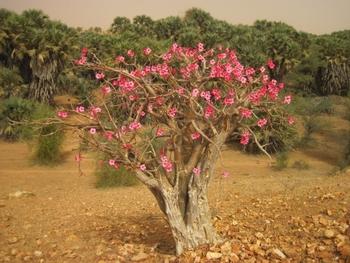 mauritanie piste kiffa kayes 6 baobab chacal