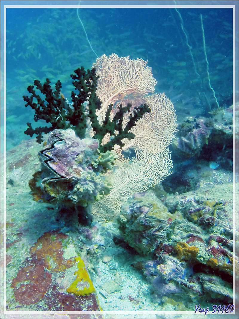 Gorgone éventail, Corail-soleil noir ou Tubastrée verte, Huître zig-zag - Spot Betalinjona - Nosy Tsarabanjina - Archipel Mitsio - Madagascar