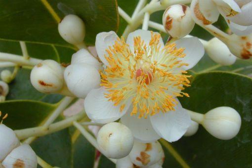 Calophylle Calophyllum fleur (Doctissimo)