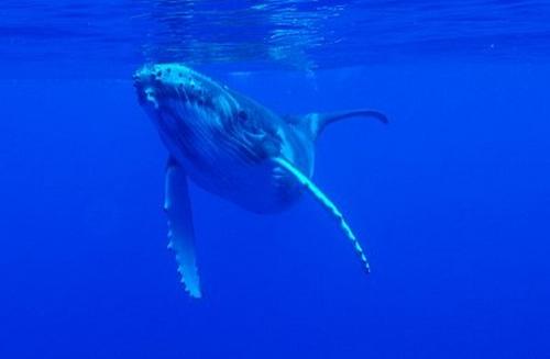 Le baleineau