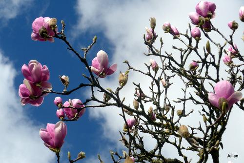 Le tulipier en fleur