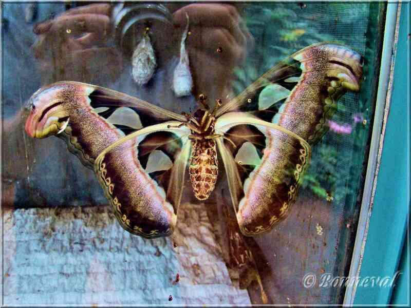Papillons tropicaux Attacus atlas face ventrale