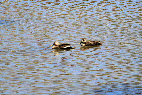 Canard de Chine (Eastern Spot-billed Duck)