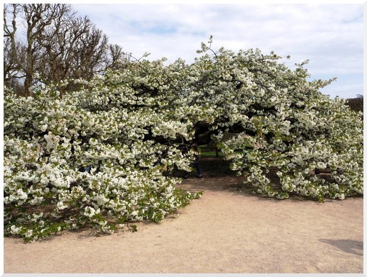 Cerisier du Japon. Paris Jardin des Plantes. 2