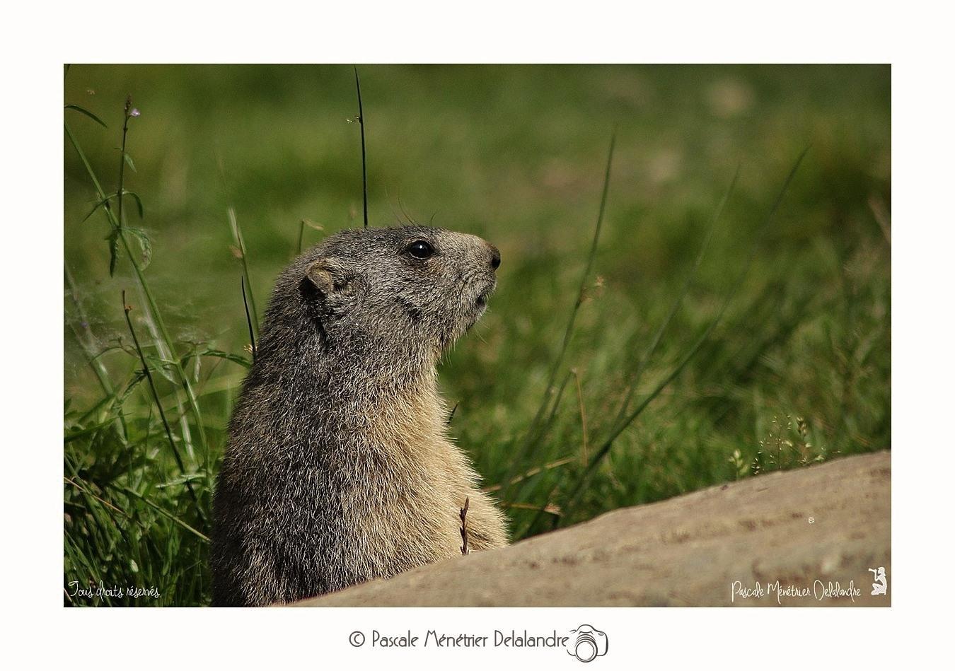 Portraits de Marmottons