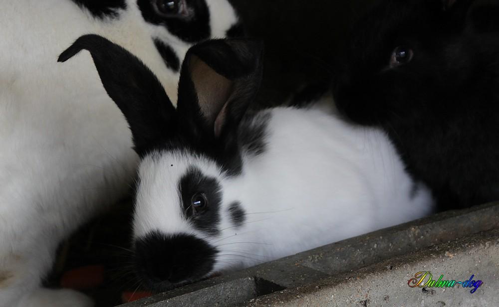 6 bébés lapins géant papillon dont 1 noir