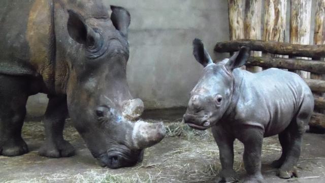 Naissance d'un rhinocéros blanc