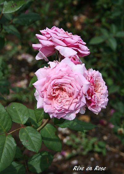 Reve-en-Rose.jpg