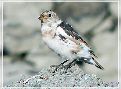 Bruant des neiges, Snow Bunting (Plectrophenax nivalis) - Sisimiut - Groenland