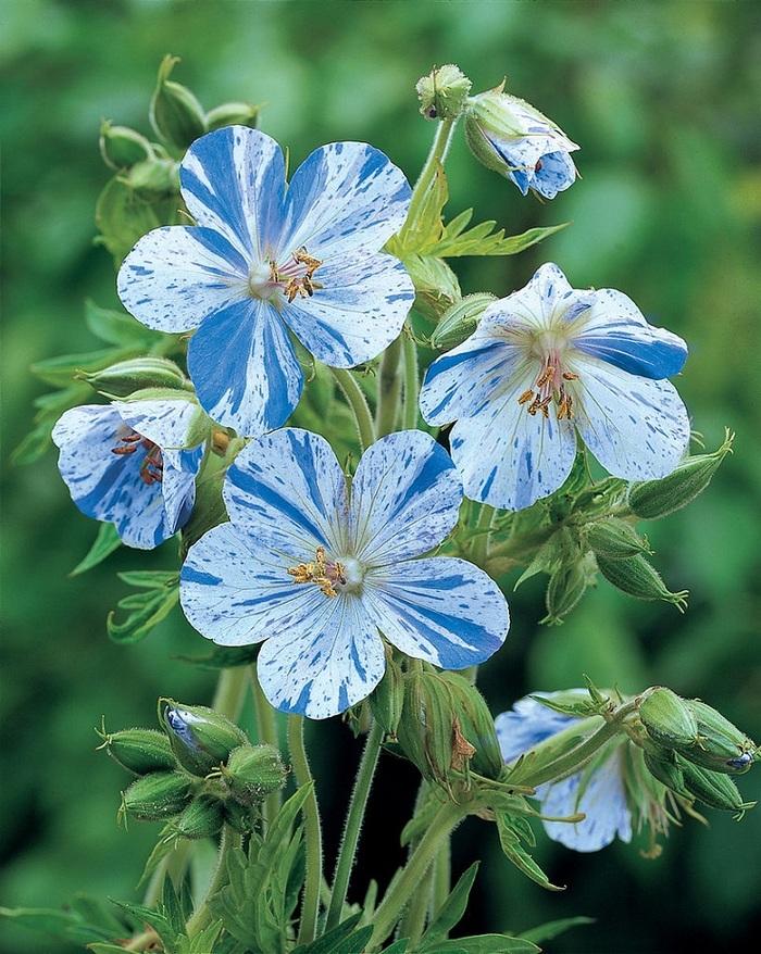 Des fleurs qui feront de votre jardin un paradis bleu