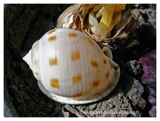 Coquillage - Shell