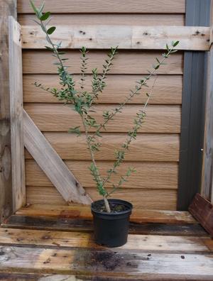 Le radeau en bonsaï