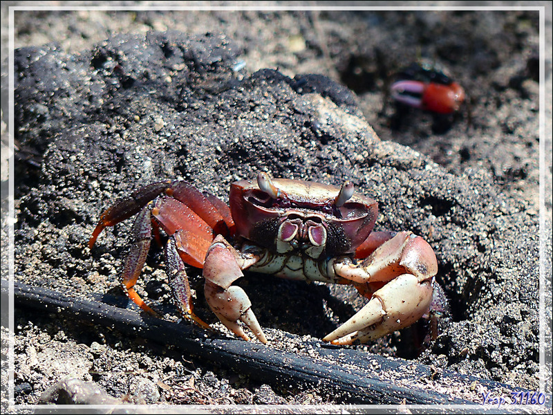 "Crabe terrestre ""Tupa"" (Cardisoma carnifex) - Huahine - Polynésie française"