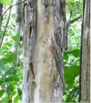 ''Bois d'Inde écorce'' Pimenta racemosa (tronc)