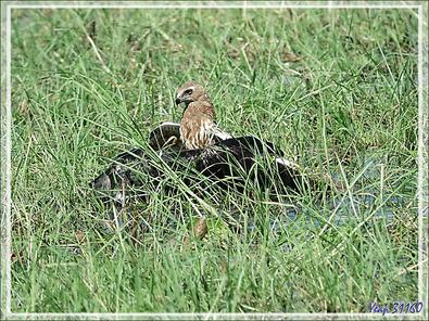 L'attaque d'un Busard grenouillard (Circus ranivorus) sur un autre oiseau (cormoran ?) - Safari nautique - Parc National de Chobe - Botswana