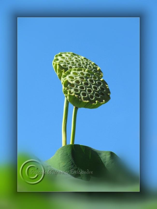 Fruits de Lotus sacrés...