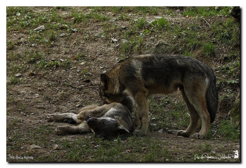 Loup et Louveteaux