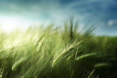 En Chine, la culture de l'orge s'est développée pour l'agriculture de subsistance avec la dynastie Han, qui a commencé en 206 avant J.-C. © Iakov Kalinin, Shutterstock