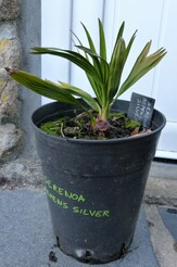 Serenoa repens sp silver pot n°2