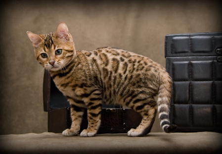 https://alpharococo.files.wordpress.com/2012/03/chaton-bengal-3.jpg