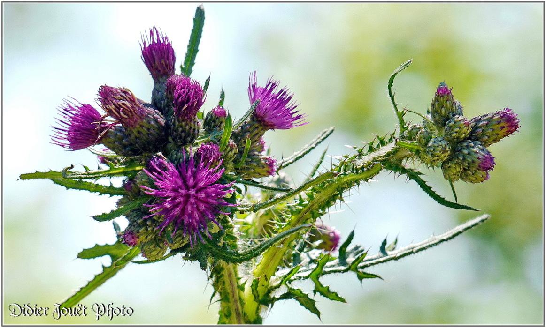 Cirse des Marais / Cirsium palustre