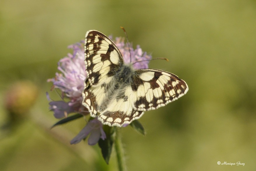 papillon-demi-deuil-9779.jpg