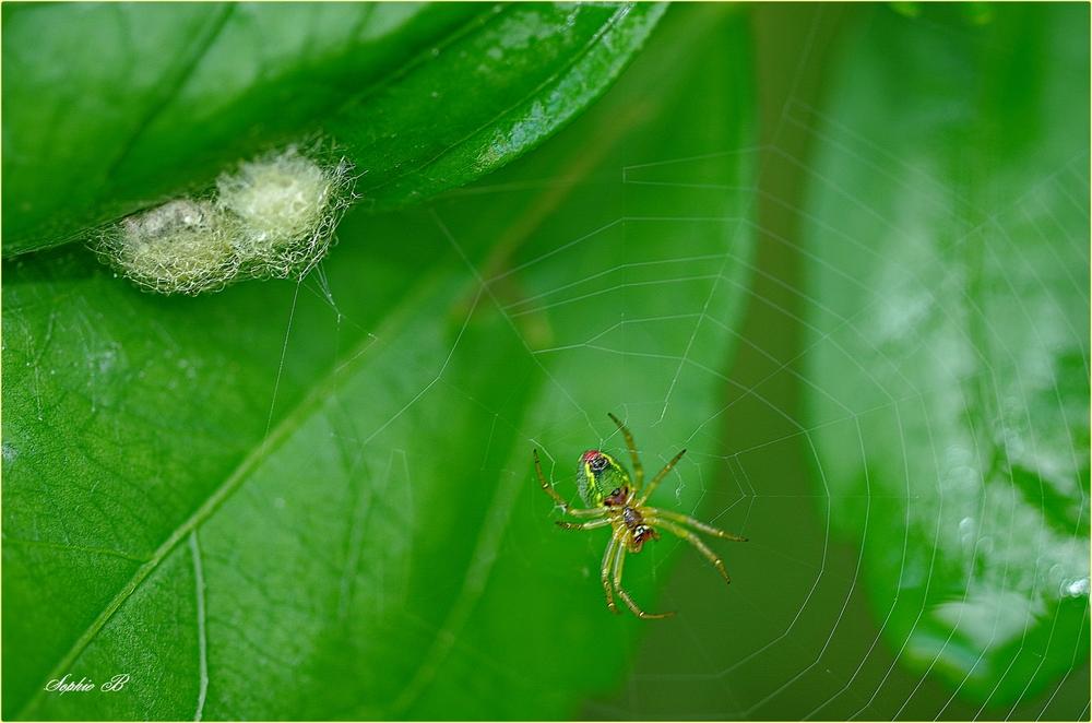 Araignée-concombre .