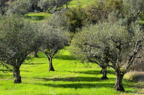 L'olivier, le guide qui montre le chemin