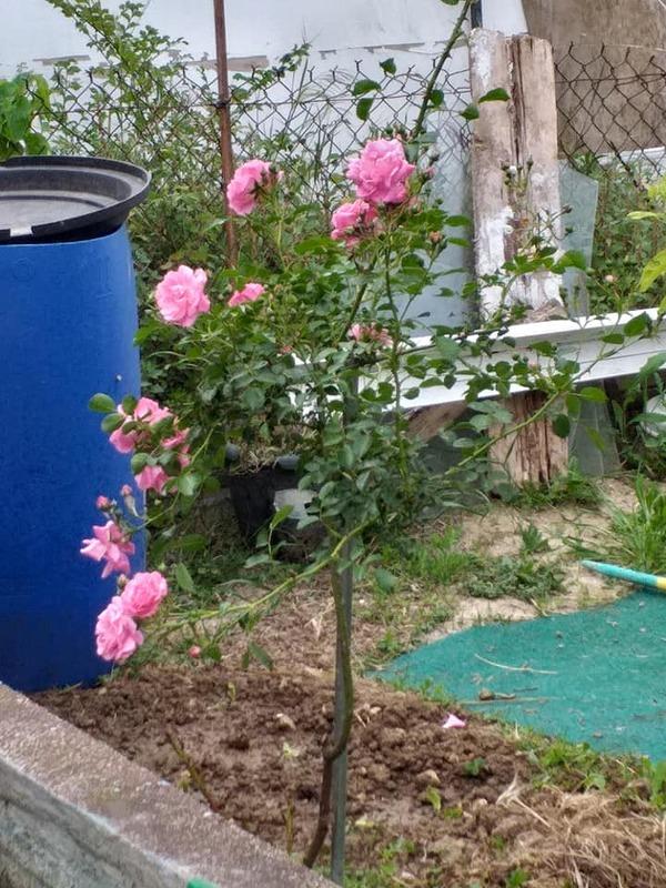 Les roses du jardin