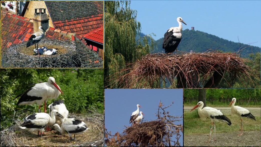 Le retour des cigognes en Alsace